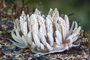 リザードミノウミウシ Phyllodesmium lizardense