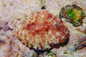 オオゼキイロウミウシ Goniobranchus sp. 4