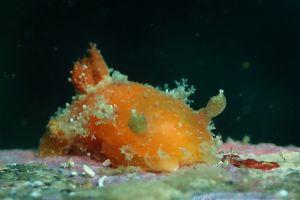 エダウミウシ Kaloplocamus ramosus