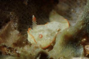 ミナミミツイラメリウミウシ Diaphorodoris sp. 1