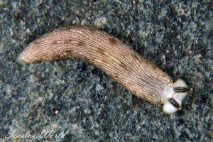 カキシブオトメウミウシ Dermatobranchus diagonalis