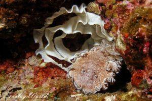 タヌキイロウミウシ Glossodoris hikuerensis