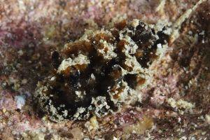ビロウドウミウシ属の一種 5