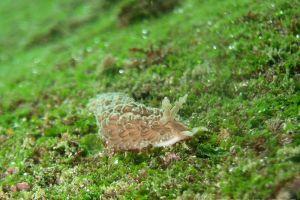 ヤマトミノウミウシ Bulbaeolidia japonica