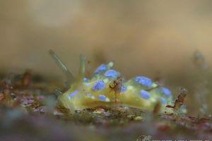 フジエラミノウミウシ Trinchesia ornata