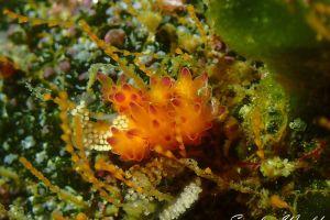 スミレマツカサウミウシ Doto purpurea