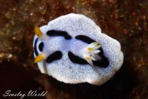 ダイアナウミウシ Chromodoris dianae