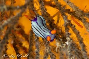 クロスジリュウグウウミウシ Nembrotha sp. 5