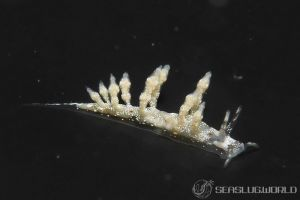 ヒョウタンミノウミウシ Eubranchus sp.10