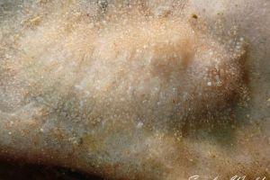 ハリアットミノウミウシ Aeolidiopsis harrietae