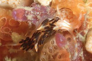 ヨツスジミノウミウシ Facelina quadrilineata