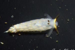 キホシミノウミウシ Cerberilla sp. 1