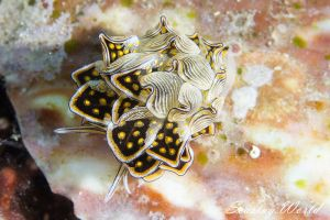 クロスジウロコウミウシ Cyerce nigra