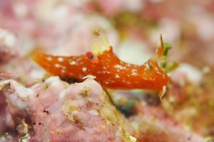 アカベコウミウシ Polycera sp.14