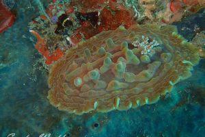 コバンウミウシ Asteronotus cespitosus