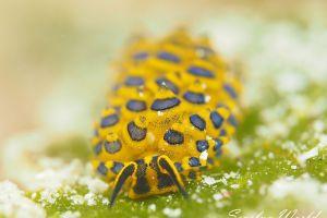 ミナミアオモウミウシ Costasiella sp. 5