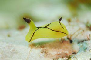 オレンジウミコチョウ Siphopteron brunneomarginatum
