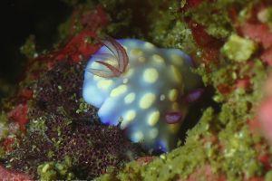 ユウグレイロウミウシ Goniobranchus hintuanensis