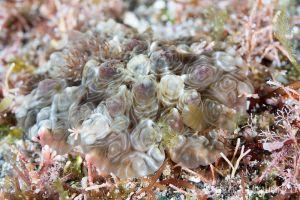 イシガキウミウシ Dendrodoris tuberculosa