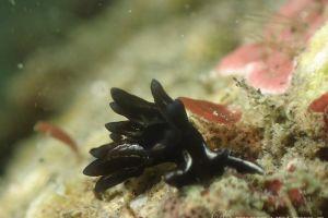 ヒメクロモウミウシ Aplysiopsis minor