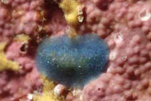アオクシエラウミウシ Doriopsis pecten