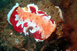 ミカドウミウシ Hexabranchus sanguineus