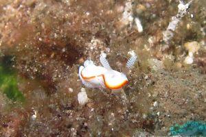 ボンボリイロウミウシ Goniobranchus albonares