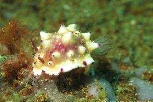レンゲウミウシ Mexichromis multituberculata