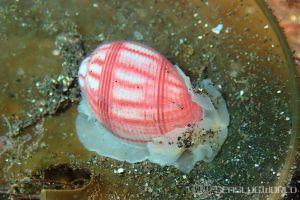 オオベニシボリ Bullina nobilis