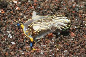 ダテカスミミノウミウシ Cerberilla sp.12
