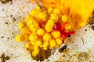 イボヤギミノウミウシ Phestilla melanobrachia