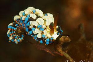 タルミノウミウシ Trinchesia sp.18