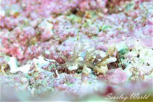 ムロトミノウミウシ Phyllodesmium macphersonae