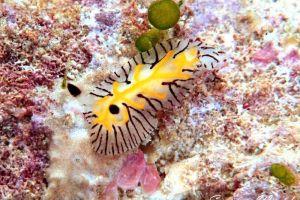 エレガントヒオドシウミウシ Halgerda elegans