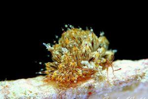 コヤナギウミウシ Janolus toyamensis