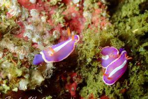 フジイロウミウシ Verconia purpurea