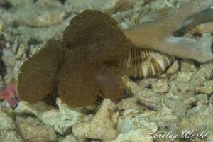 サンゴメリべ Melibe coralophilia