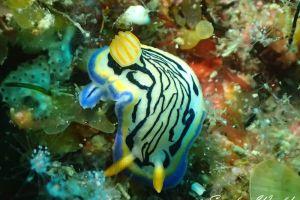 リュウモンイロウミウシ Hypselodoris maritima