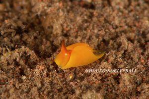 ヤマトウミコチョウ属の一種 6 Gastropteron sp. 6