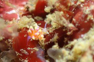 イロマユミノウミウシ Trinchesia sp. 5