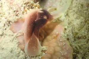 コナユキツバメガイ Chelidonura amoena