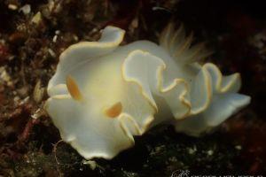アカメイロウミウシ Ardeadoris sp. 1