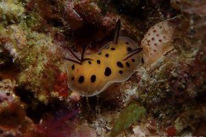 テンテンウミウシ Halgerda brunneomaculata