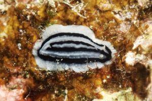 シロウネイボウミウシ Phyllidiopsis striata