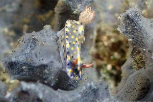 オダカホシゾラウミウシ Hypselodoris roo