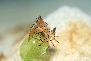フジタウミウシ属の一種 3