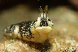 ホンオトメウミウシ Dermatobranchus striatus