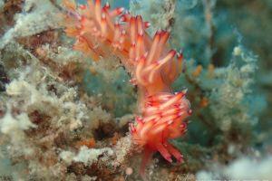 セスジミノウミウシ Coryphellina sp. 4