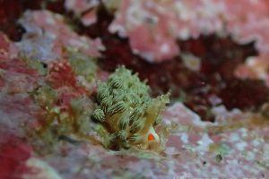 アカメミノウミウシ Cratena affinis