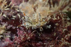 スベスベジョオウミノウミウシ Eubranchus sp. 1